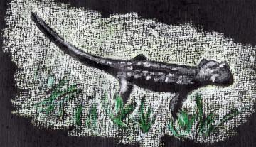 medium_pastel-salamandre-du-viso.jpg